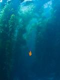Garibaldi Fish in Giant Kelp Underwater