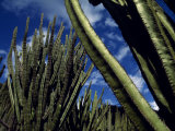 Cactus Forest in the Oaxacan Highlands