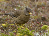 Austral Thrush Foraging Through Mosses for an Insect Meal