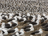Thousands of Black-Browed Albatrosses Nesting at a Rookery