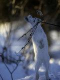Snowshoe Hare (Lepus Americanus) Slana  Alaska