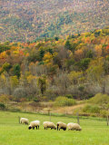 Sheep Graze in a Pasture During Autumn  Vermont