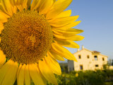Sunflower Near a Countryside Hotel Outside the City of Chefchaouen
