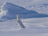 White Arctic Fox (Alopex Lagopus) Dives into a Seal Pup Den