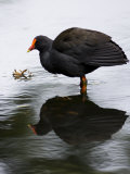 Portrait of a Gallinule Standing in Water