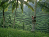 Bahasa Scales a Tree to Pick Coconuts in the Rice Terraces of Ceking