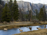 Elk in Yellowstone National Park Crossing the Madison River