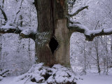 Very Large Old Oak Tree in a Snow-Blanketed Forest