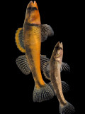 Pair of Slackwater Darter Fish at Conservation Fisheries