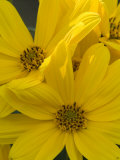 Close Up of a Bunch of Bright Yellow Flowers