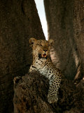 Leopard  Panthera Pardus  Resting in a Baobab Tree