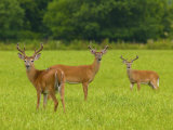 White-Tailed Deer in Cades Cove
