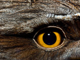 Abstract Image of the Eye and Feathers of a Tawny Frogmouth