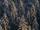 Stand of Snow-Covered Evergreen Trees
