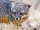 Island Fox  Urocyon Littoralis  Scavenging at Scorpion Canyon