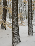 Beech Trees (Fagus Grandifolia) after a Snow Fall