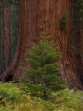 Trunk of a Giant Sequoia Tree and a Small Evergreen Tree