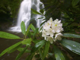 Close Up of a Rhododendron Along the Cascading Little River