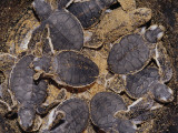 Clutch of Newly Hatched Endangered Green Sea Turtles in a Bucket