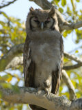 Verreaux's Eagle Owl  Bubo Lacteus  or Milky Eagle Owl  in a Tree