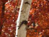 Birch Tree Trunk Detail  Red Leaves in Background  New Hampshire