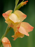 Dew Drops on a Gladiolus Growing in Cades Cove