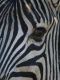 Close Up Portrait of a Burchell's or Common Zebra  Equus Burchelli
