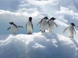 Adelie Penguins Lined Up on an Iceberg