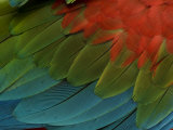 Green-Winged Macaw or Green and Red Macaw (Ara Chloroptera) Feathers