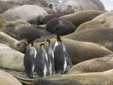 King Penguins Walking Through Sleeping Elephant Seals on a Beach