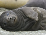Elephant Seal Pup Resting on a Beach
