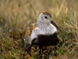 Dunlin Sandpiper  Calidris Alpina  on its Nest on the Tundra
