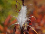 Tufted Seeds of the Fireweed Plant  Ready for Dispersal on the Wind