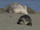 King Penguin and Elephant Seal Sleeping Near Each Other on a Beach