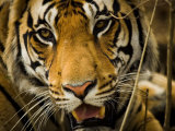 Portrait of a Tiger  Panthera Tigris
