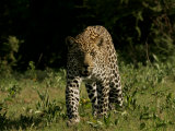 Front View of Leopard  Panthera Pardus  Walking