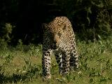 Front View of Leopard  Panthera Pardus  Walking