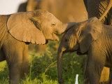 African Elephant (Loxodonta Africana)Calf