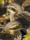 Bush Stone Curlew  Burhinus Grallarius  Camouflaged in Leaf Litter