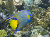 Blue Angelfish Swimming in the Coral Reef Off of Key Largo
