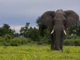 African Elephant Walking Through a Plain of Blooming Wildflowers