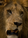 Close Up Portrait of a Resting Male African Lion  Panthera Leo