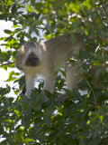 Lone Vervet Monkey Perched in Tree