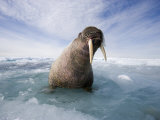 Atlantic Walrus on an Ice Floe with Sea Water Sloshing About