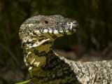 Portrait of a Lace Monitor Lizard  Varanus Varius