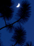 Conifer Branches Silhouetted Against the Night Sky and Crescent Moon
