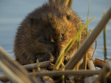 Muskrat (Ondatra Zibethicus) Feeding at Sunset