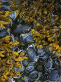 Mussel Bed and Seaweed