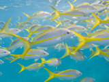 School of Fish Swimming in Crystal Clear Waters Off of Key Largo