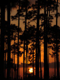 Slash Pine Forest Silhouetted at Sunset